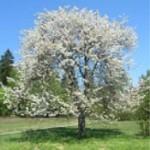 Češnja Evropska drevo