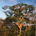 Afrormosia drevo