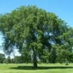 Brest Ameriški drevo