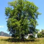 Brest drevo