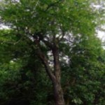 Cabreuva Incensio drevo