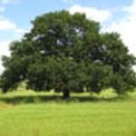 Hrast Evropski drevo