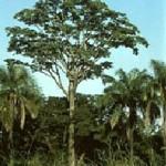 Iroko drevo