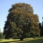 Kanadski javor drevo