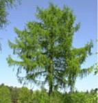 Macesen drevo
