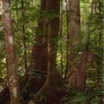 Merbau drevo