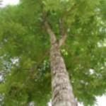 Oreh Ameriški drevo