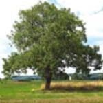 Oreh Evropski drevo