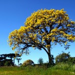 IPE TABACCO, ipe drevo
