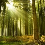 Pinus radiata drevesa