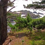 Pinus radiata drevo